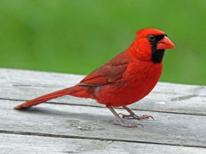 Cardinal,_Northern_male_Ash_2012